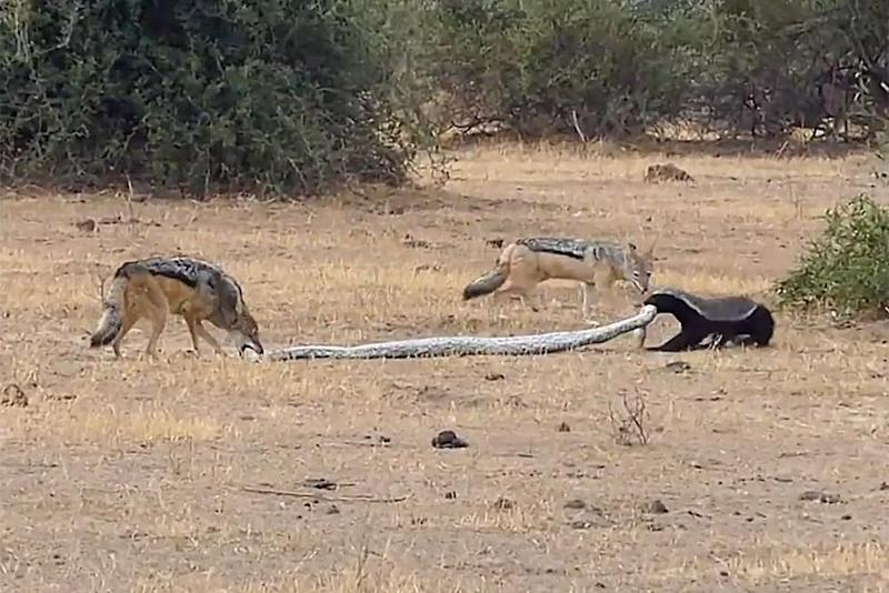 Honey badger versus a python and two jackals | Caters/Roselyne Kerjosse