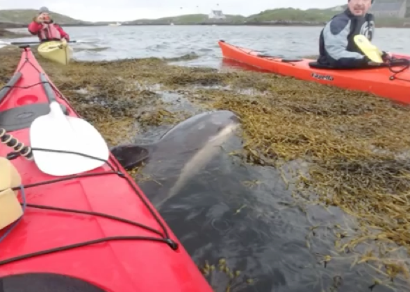Dolphin trapped in seaweed 'thanks' kayakers after rescue