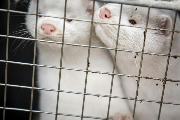 More than 15 million minks are slated to be culled in Denmark