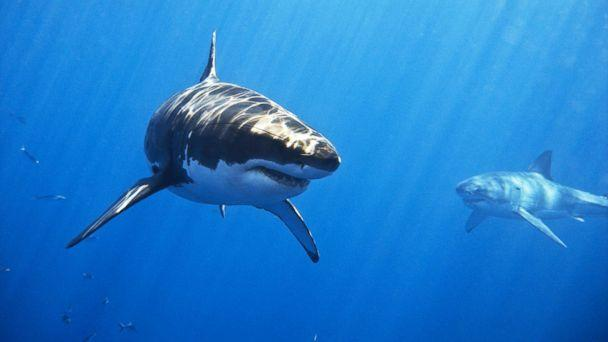 PHOTO: Two male great white sharks swim off of Isla de Guadalupe, Mexico in this undated stock photo. (STOCK PHOTO/Getty Images)