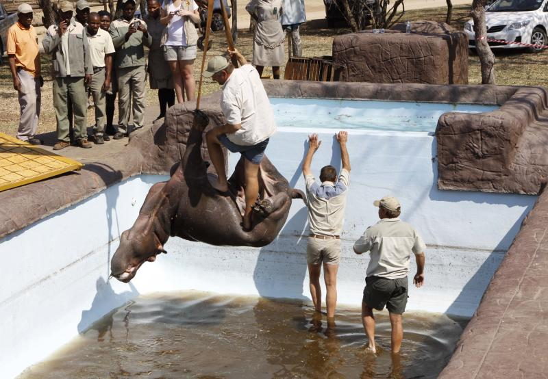 A hippo is lifted from a swimming pool Friday Aug. 24, 2012, at the Monate Conservation Lodge, near Modimolle, South Africa, after being trapped there for three days. The young hippo had plunged into the deep pool on Tuesday after being chased off from his herd by male members seeking dominance, wandered into the lodge's camp and fell into the pool. The animal died just before the rescue operation got under way.  (AP Photo/Denis Farrell)