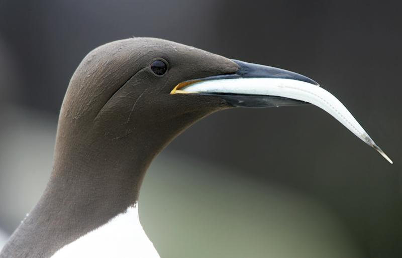 Guillemot (Uria aalge) with fish in beak. farne Islands. UK