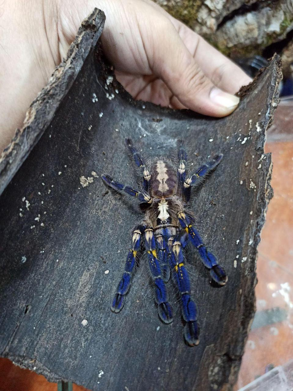 """<p><strong>What it is</strong>: <em>Poecilotheria metallica</em></p><p><strong>Where it's from</strong>: India and Sri Lanka</p><p><strong>What to know</strong>: Plain old spiders might be creepy, but cobalt-blue ones are gorgeous. Their blue coloring is likely used to <a href=""""https://royalsocietypublishing.org/doi/10.1098/rspb.2020.1688"""" rel=""""nofollow noopener"""" target=""""_blank"""" data-ylk=""""slk:find mates"""" class=""""link rapid-noclick-resp"""">find mates</a>. Unfortunately, sapphire tarantulas are listed as <a href=""""https://www.iucnredlist.org/species/63563/12681959"""" rel=""""nofollow noopener"""" target=""""_blank"""" data-ylk=""""slk:critically endangered"""" class=""""link rapid-noclick-resp"""">critically endangered</a> by the International Union for Conservation of Nature due to hunting and loss of habitat. </p>"""