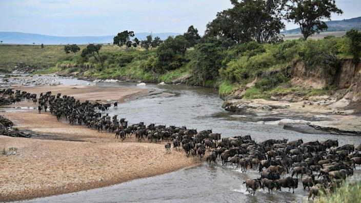 Wildebeest crossing from Tanzania to Kenya - aJuly 18, 2020 Wildebeests run across a sandy riverbed of the Sand River as they arrive into Kenya's Maasai Mara National Reserve from Tanzania's Serengeti National Park during the start of the annual migration July 18, 2020
