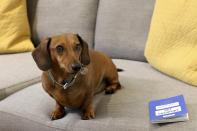 Katherine Sofoluke's miniature Daschund called George sitting with his EU Pet Passport in Beckenham, Greater London, Tuesday, Aug. 13, 2019. Across Europe, pet owners like Katherine are seamlessly crossing borders with their beloved dog, cat or even ferret, thanks to the EU Pet Passport scheme. Now, as a no-deal Brexit looms for Britain, free pet travel is under threat. (AP Photo/Natasha Livingstone)