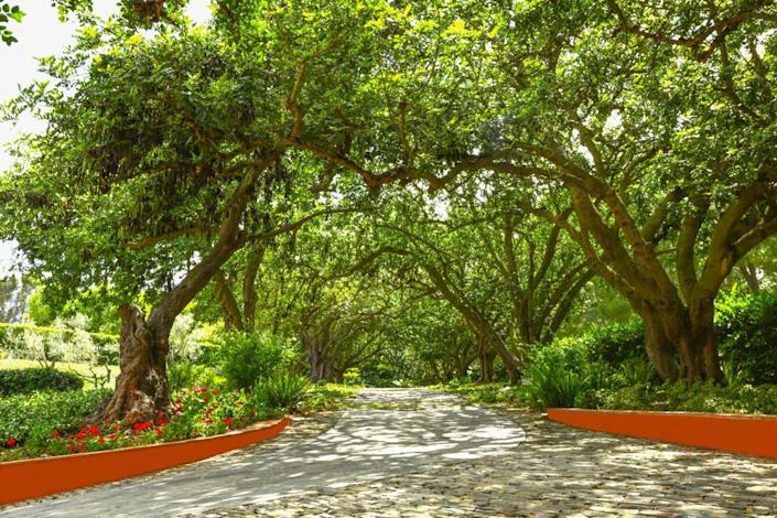 <p>When coming to or leaving from Hacienda de la Paz, guests drive under a natural canopy of carob leaves. It's a bit like a tunnel to another world. (Photo by Steve Brown/Sepia Productions)</p>