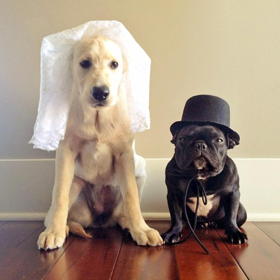 PIC BY SONYA YU / CATERS NEWS - (PICTURED: Trotter and Ruby prepare for a doggy wedding) - An adorable little French Bulldog has been playing dress-up and has impressively gathered a following of 30,000 on Instagram. The photogenic hipster, called Trotter, wears a range of outfits from a beret, moustache, top hat and pipe to high heels. Owner and Trotters photographer Sonya Yu said her little pup is simply a natural in front of the camera. SEE CATERS COPY