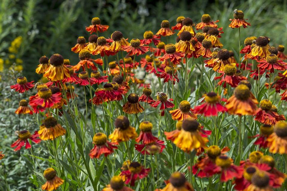 <p>Helenium will keep the butterfly garden looking shipshape all the way through the fall with these fiery- hued booms that butterflies love.</p><p><strong>When it blooms: </strong>Late summer to fall</p><p><strong>Where to plant:</strong> Partial shade to full sun</p><p><strong>When to plant: </strong>Spring or fall</p><p><strong>USDA Hardiness Zones: </strong>3 to 8</p>