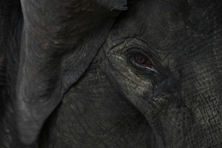 The online market sells a range of body parts from elephant tusks and legs, like those belonging to this rescued elephant, pictured in 2018, who lost one of its legs in a hunting trap