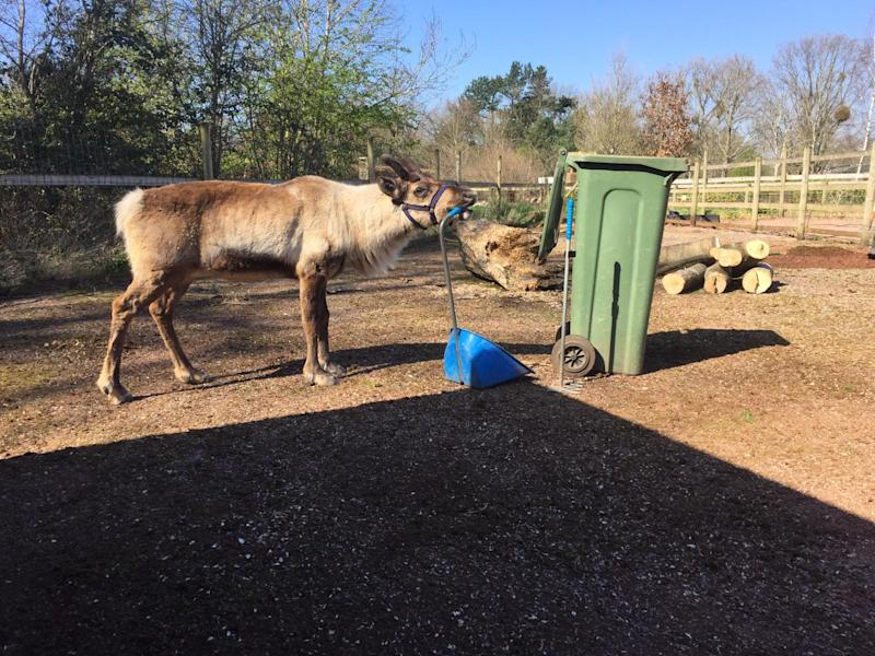 Holly the reindeer helping to clean her paddock at Wild Place
