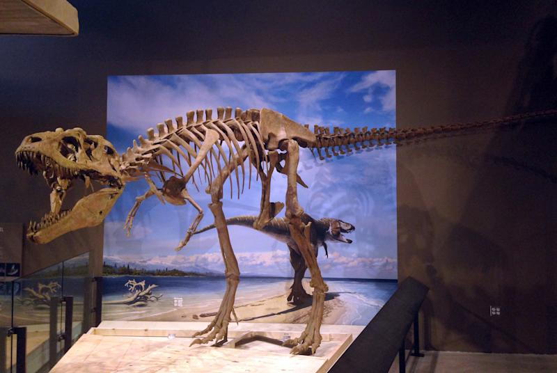 This photo released by the Natural History Museum of Utah shows the fossilized skeleton of a newly-discovered dinosaur, Lythronax argestes, which was found in southern Utah, on the display at the museum in Salt Lake City. The specimen is 24 feet (8 meters) long and 8 feet (2.4 meters) high. (AP Photo/Natural History Museum of Utah, Mark Loewen)