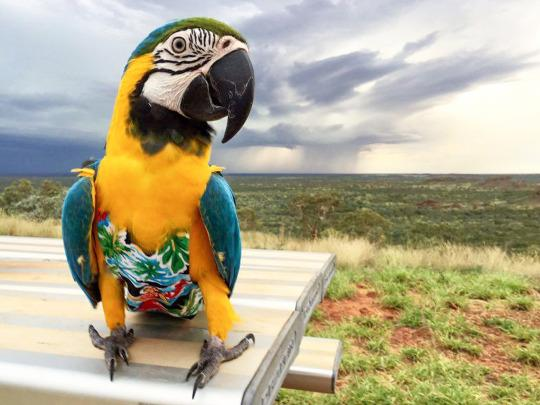<p>Three year old Macaw, Bubba Cyan wearing a Hawaiian style outfit with the Australian outback in the background. (Ed Remedio/Caters News Agency) </p>