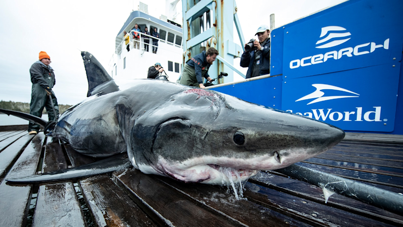 Vimy the shark with his head wound (OCEARCH/Robert Snow)