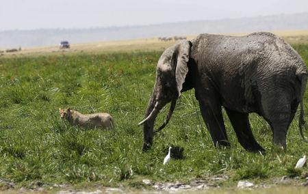 A lioness moves away from an elephant in Amboseli National Park, southeast of Kenya's capital Nairobi, March 25, 2016. REUTERS/Thomas Mukoya/File Photo