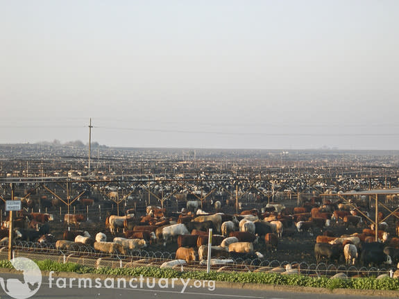 A cattle ranch in California's Central Valley.