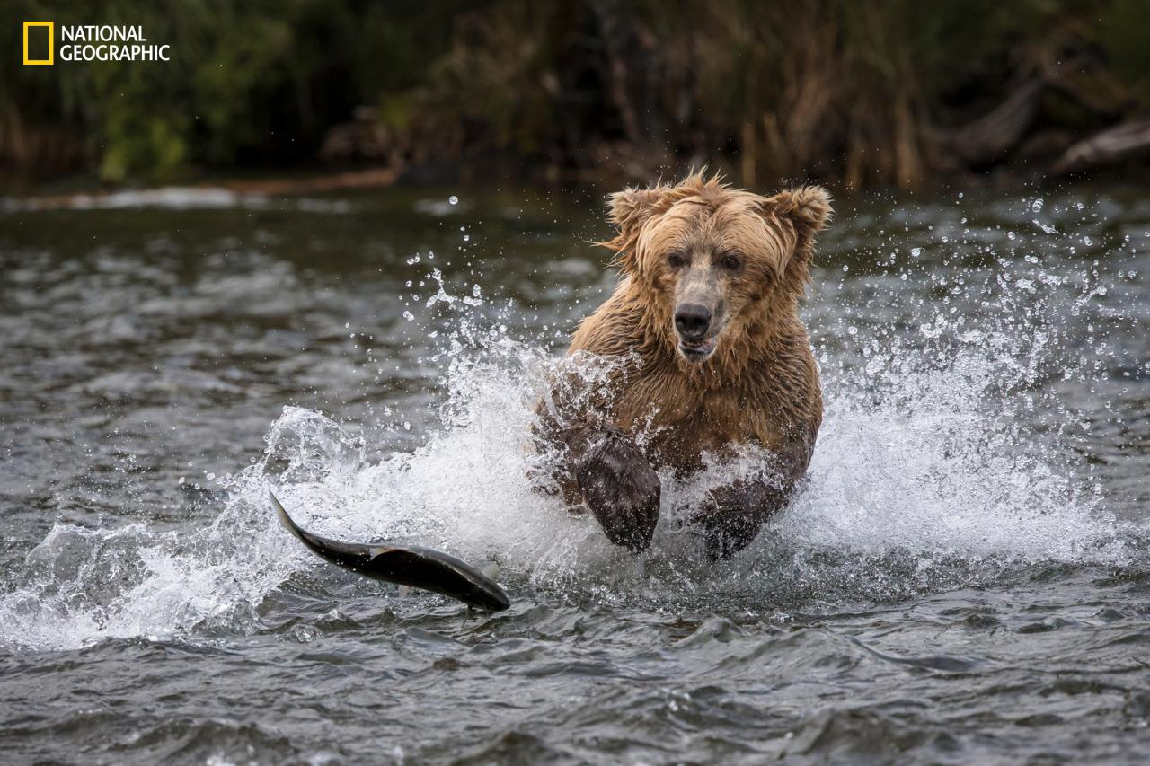 <p>A grizzly bear battles to get his paws on a wriggling salmon. (Meril D./2016 National Geographic Nature Photographer of the Year) </p>