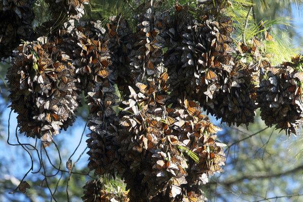 """Monarch butterflies cluster on a tree branch in this still from the 3D film """"Flight of the Butterflies,"""" opening in IMAX theaters."""