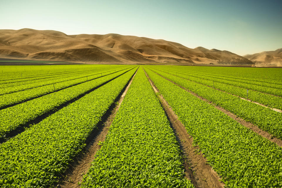 """A green row celery field in the Salinas Valley, California USA"""