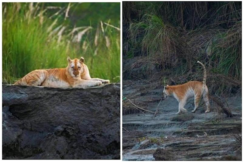 India's Only Golden Tiger Snapped in Kaziranga Days After 'Bagheera' Was Spotted in the Wild