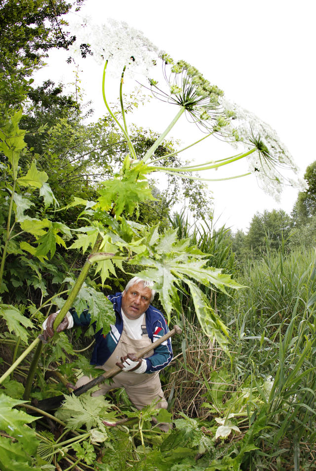 A man removes giant hogweed wearing gloves. (Photo: Getty Images)