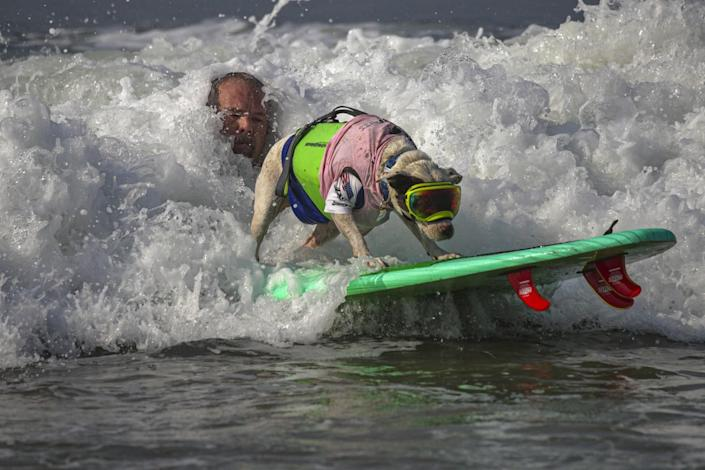 James Wall launches Faith, an American pit bull terrier, on to a wave