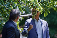 President Joe Biden looks to pick a cherry as he tours King Orchards fruit farm with Sen. Gary Peters, D-Mich., Saturday, July 3, 2021, in Central Lake, Mich. (AP Photo/Alex Brandon)