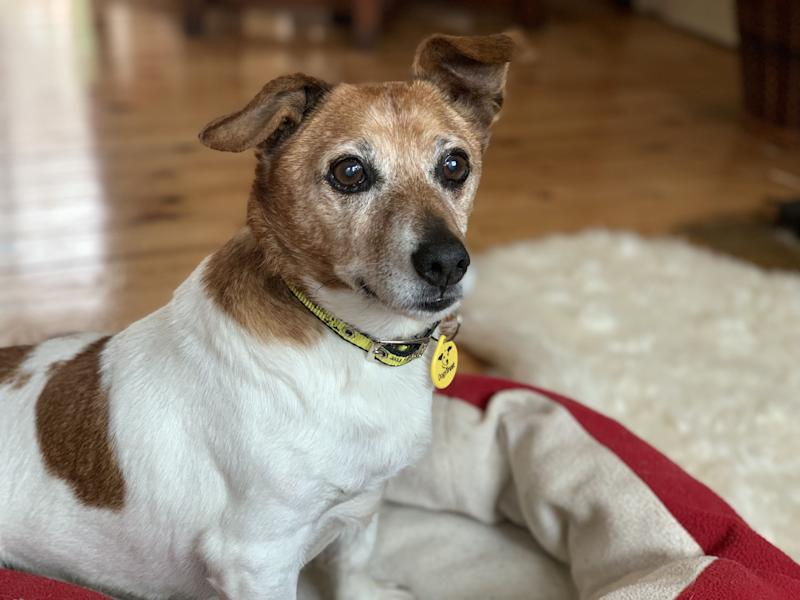 "17-year-old Tonks the Jack Russell. See SWNS copy SWMDdog: The oldest pooch in care in Britain has finally found a ""forever home"". 17-year-old Tonks was being cared for at the Dogs Trust Kenilworth in Warwickshire after being found on the streets. The charity launched an appeal to find a home for the loveable Jack Russell Terrier."