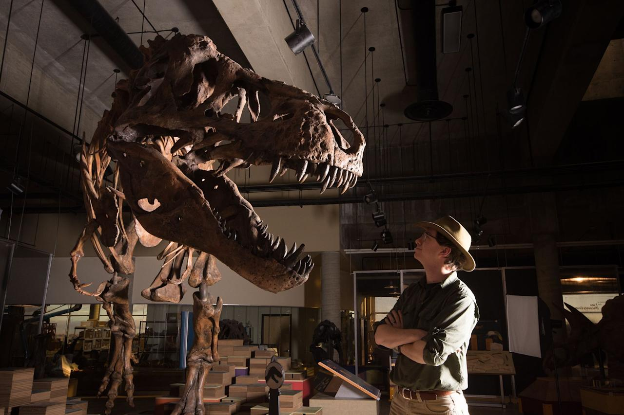 "<p>W. Scott Persons looks at the skeleton of the Tyrannosaurus rex ""Scotty"" at the T. rex Discovery Centre in Eastend, Canada. Scotty is considered the heaviest <i>T. rex </i>specimen ever found, at an estimated 19,500 pounds in life, far heftier than most elephants alive today. (Photo from Amanda Kelley/University of Alberta/AFP/Getty Images) </p>"