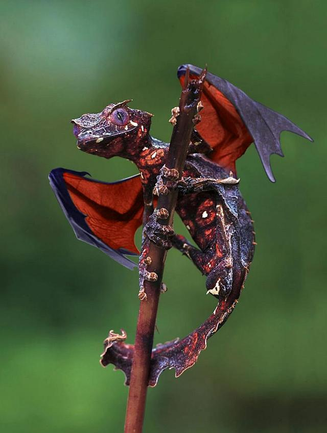 "The Dragon Gecko, ""Satanic Leaf Tailed Gecko with Flying Fox wings."" <a href=""https://ec.yimg.com/ec?url=http%3a%2f%2fi.imgur.com%2fI4V777F.jpg%26quot%3b&t=1518999843&sig=RMKM0iA38xmBKDbAkLtT9Q--~D rel=""nofollow noopener"" target=""_blank"" data-ylk=""slk:Photo"" class=""link rapid-noclick-resp"">Photo</a> created by <a href=""http://www.reddit.com/user/Felfriast"" rel=""nofollow noopener"" target=""_blank"" data-ylk=""slk:Felfriast"" class=""link rapid-noclick-resp"">Felfriast</a>."
