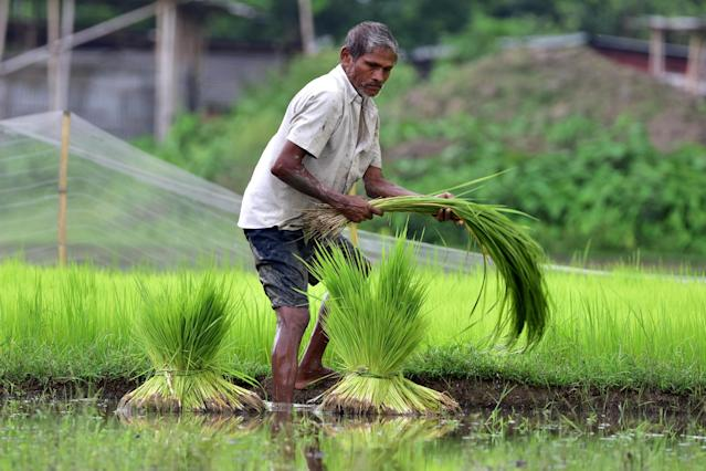 A farmer works in a paddy field at Amoni village in Nagaon District of Assam (Photo credit should read Anuwar Ali Hazarika/Barcroft Media via Getty Images)