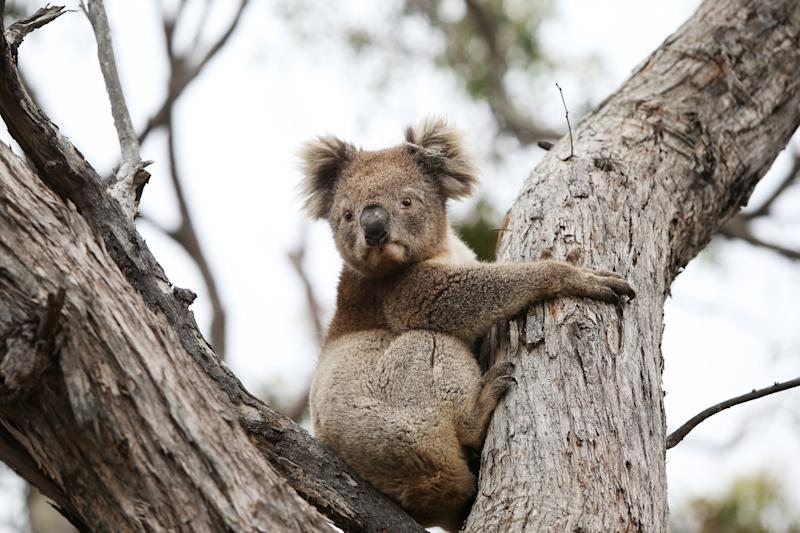 Koalas could be affected by weakened environment laws according to the ACF. Source: Getty