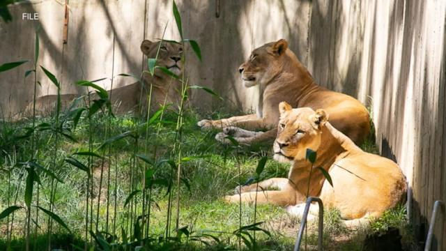 Lions and tigers recovering well from COVID-19 infection at Washington's National Zoo