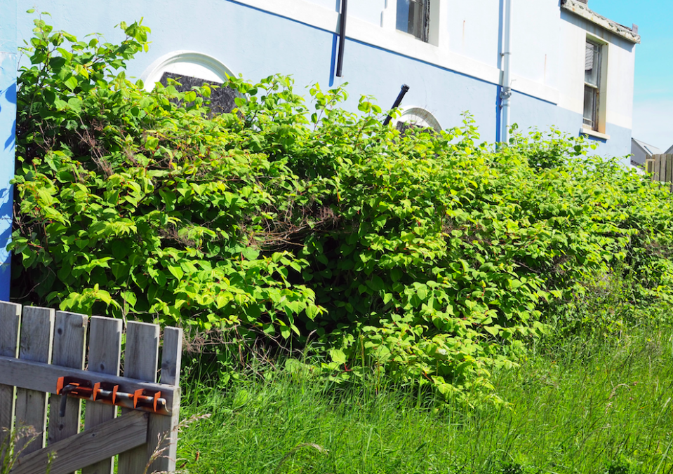 <em>Landowners will be able to claim damages if Japanese knotweed has encroached on their land (Rex)</em>