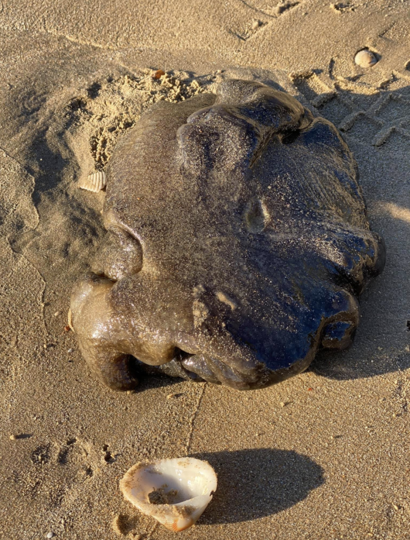 Photo shows a strange creature on a beach in Queensland.