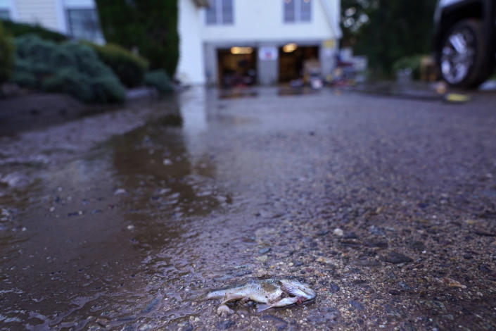 A fish lies on the driveway of a house near a river that overflowed in Woodland Park, N.J., Thursday, Sept. 2, 2021. (AP Photo/Seth Wenig)
