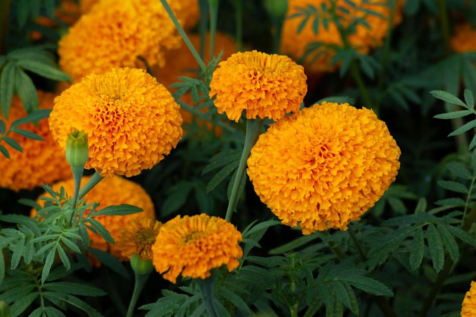 <p>Not only are marigolds beautiful to look at but they're a great bug repellent. Use these plants to keep mosquitos away, as well as to prevent nematodes (a small worm) from damaging the roots of your vegetable plants. </p>