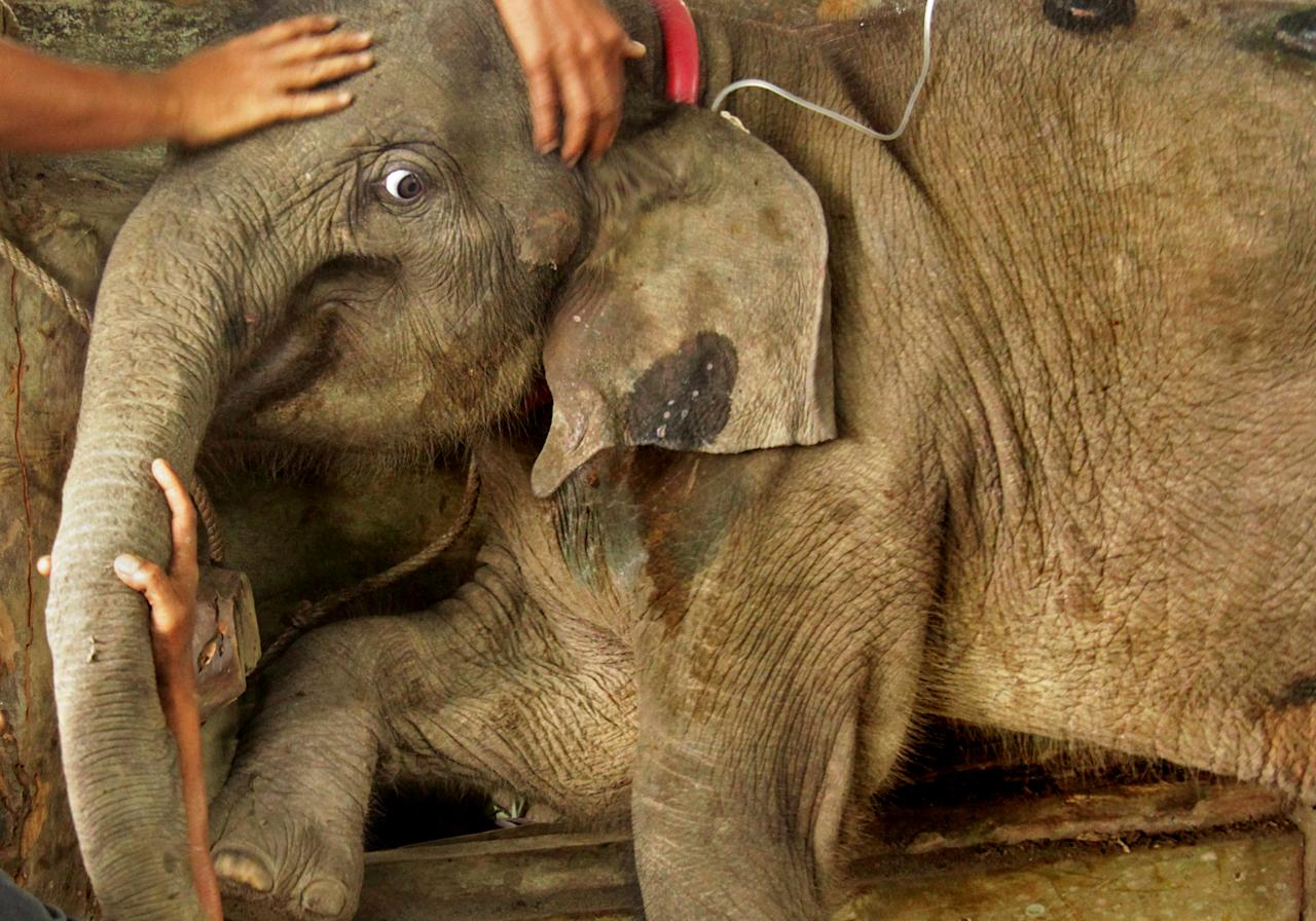 Veterinarians tend to a wild baby Sumatran elephant after it was found separated from its herd in the forest of East Aceh at the Elephant Training Centre in Saree, Aceh, Indonesia January 17, 2017  in this photo taken by Antara Foto. Antara Foto/Ampelsa/ via REUTERS ATTENTION EDITORS - THIS IMAGE WAS PROVIDED BY A THIRD PARTY. FOR EDITORIAL USE ONLY. MANDATORY CREDIT. INDONESIA OUT.