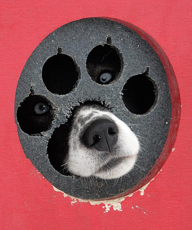 FILE - One of Tim Osmar's sled dogs looks out of its pen before the start of the Iditarod Trail Sled Dog Race in Willow, Alaska, Sunday, March 2, 2008. A record field of 96 mushers are running the 1,100 mile sled dog race to Nome. (AP Photo/Al Grillo, File)