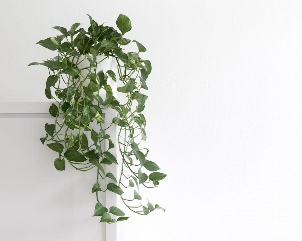 "<p><a class=""link rapid-noclick-resp"" href=""https://www.amazon.com/Costa-Farms-Devils-Golden-Pothos/dp/B07TTJNM89?tag=syn-yahoo-20&ascsubtag=%5Bartid%7C10057.g.30655732%5Bsrc%7Cyahoo-us"" rel=""nofollow noopener"" target=""_blank"" data-ylk=""slk:BUY NOW"">BUY NOW</a> <strong><em>Golden Pothos, $29, </em><em>amazon.com</em></strong></p><p>If you want a virtually unkillable trailing plant to add some drama to your kitchen, the always-reliable pothos is your best bet. It can handle varying levels of light and humidity, and it'll show you when it's being neglected or overwatered and bounce right back once you take care of it. </p>"