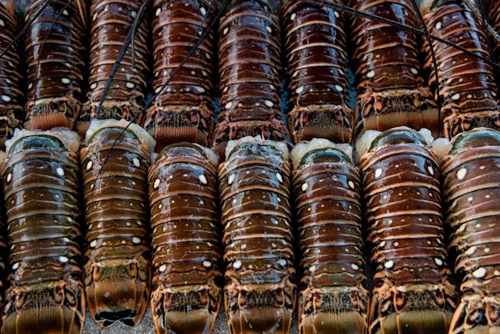 Spiny lobster tails from a midday haul at Matheson Hammock Park on July 25, 2019. Thursday marked the last day of the spiny lobster mini-season.
