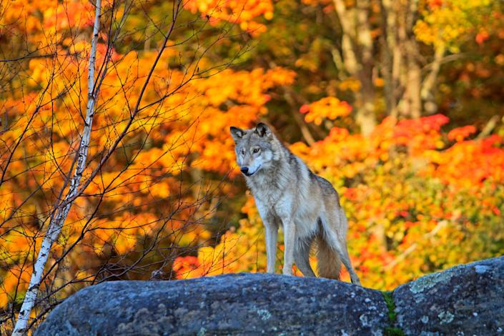 United States, Minnesota, Gray Wolf or Timber Wolf (Canis lupus)