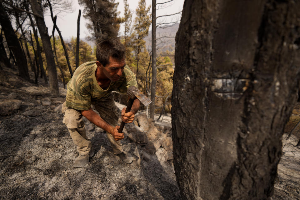 Christos Livas, 48, resin collector uses a tool on a burnt pine tree in a burnet forest near Agdines village on the island of Evia, about 185 kilometers (115 miles) north of Athens, Greece, Wednesday, Aug. 11, 2021. Residents in the north of the Greek island of Evia have made their living from the dense pine forests surrounding their villages for generations. Tapping the pine trees for their resin has been a key source of income for hundreds of families. But hardly any forests are left after one of Greece's most destructive single wildfires in decades rampaged across northern Evia for days. (AP Photo/Petros Karadjias)