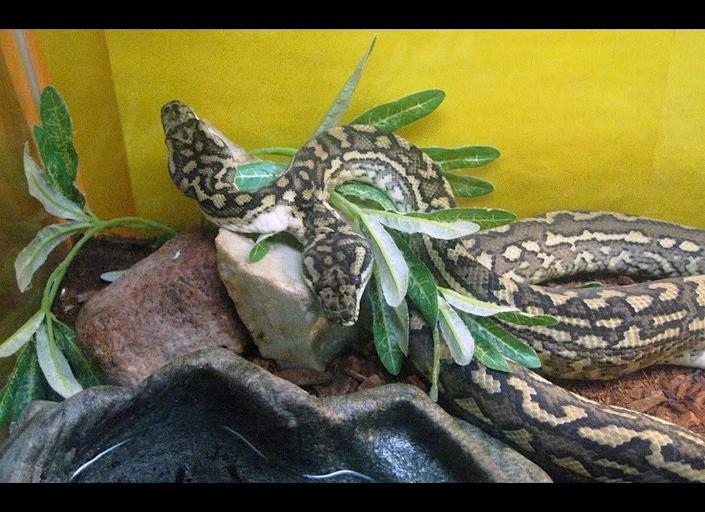 """""""Us"""" is a 2 1/2-year-old, 4-foot long, two-headed carpet python residing at the World Aquarium in St. Louis. According to aquarium President Leonard Sonnenschein, it may be the only one in the world."""