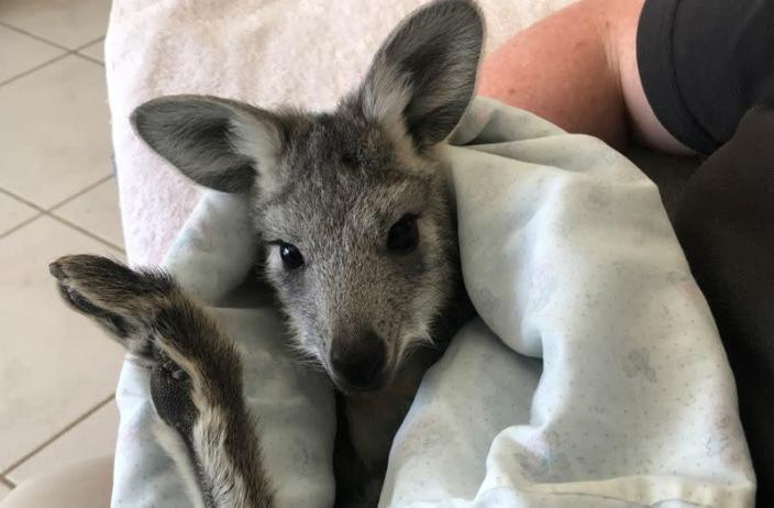 Pippa, a seven-month-old wallaroo, rests in a homemade pouch in Bathurst
