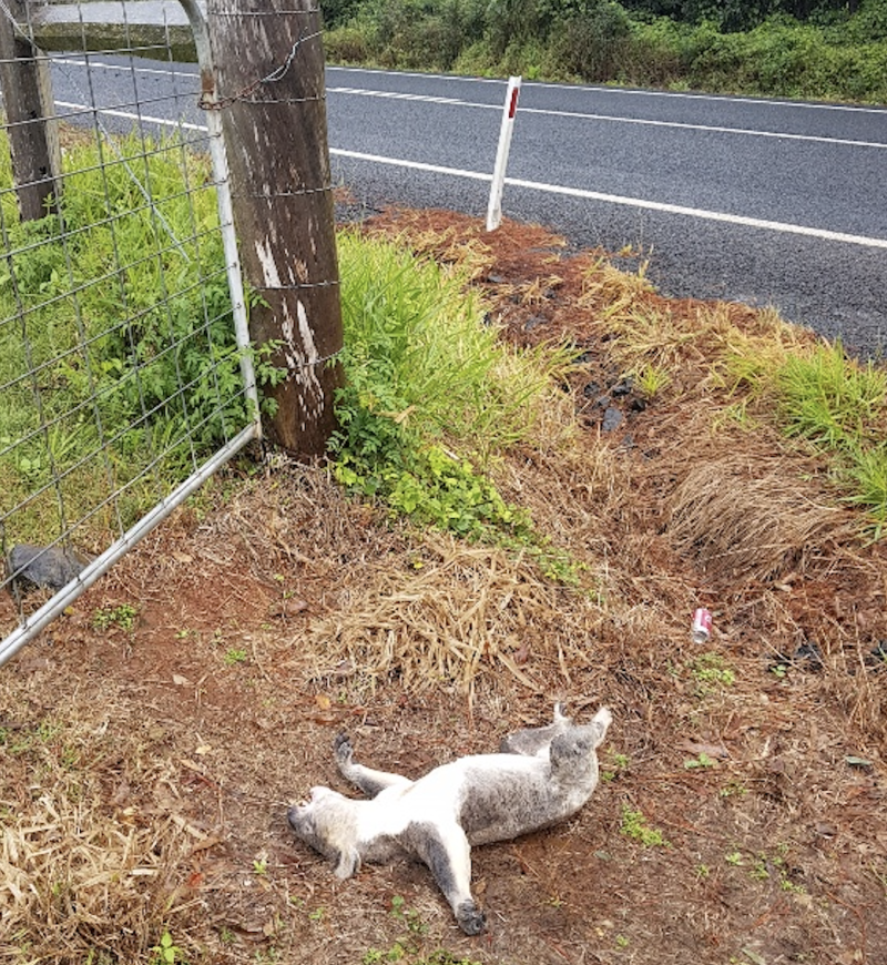 A dead koala on its back with arms outstretched lies between a road and a gate on dirt.