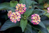 """<p>This tough-as-nails annual comes in bright pink, yellow, purple and pink or a combination of sunny colors. It's heat and drought tolerant, and butterflies and hummingbirds like it, too! In warm climates, lantana may survive winter and become a small shrub. Plant it at the front of borders. Needs full sun.</p><p>Varieties to try: Luscious Marmalade, Luscious Royale Cosmo</p><p><a class=""""link rapid-noclick-resp"""" href=""""https://go.redirectingat.com?id=74968X1596630&url=https%3A%2F%2Fwww.homedepot.com%2Fp%2FPROVEN-WINNERS-4-Pack-4-25-in-Grande-Luscious-Bananarama-Lantana-Live-Plant-Yellow-Flowers-LANPRW2067524%2F301577912%3Fsource%3Dshoppingads%26locale%3Den-US&sref=https%3A%2F%2Fwww.housebeautiful.com%2Fentertaining%2Fflower-arrangements%2Fg2411%2Fpopular-flowers-summer%2F"""" rel=""""nofollow noopener"""" target=""""_blank"""" data-ylk=""""slk:SHOP NOW"""">SHOP NOW</a></p>"""