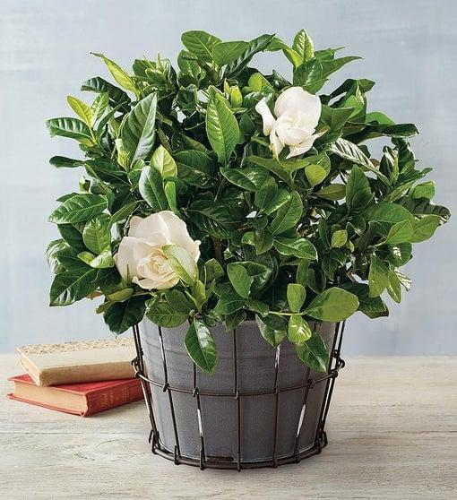 <p>It's not called an <span>Everblooming Gardenia</span> ($60) for nothing!</p>