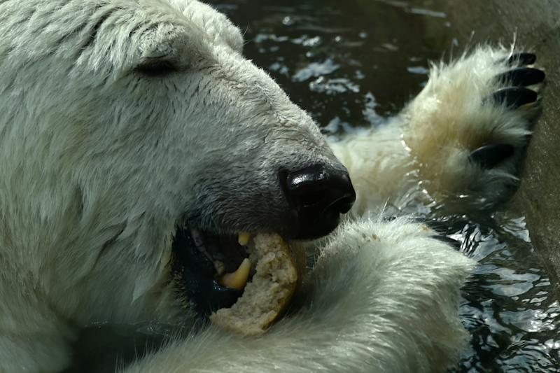 A polar bear eats bread in the Moscow Zoo on August 8, 2014 (AFP Photo/Kirill Kudryavtsev)