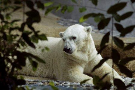 FILE PHOTO - Inuka the polar bear looks out from his enclosure at the Singapore Zoological Gardens February 25, 2004. REUTERS/David Loh/File Photo