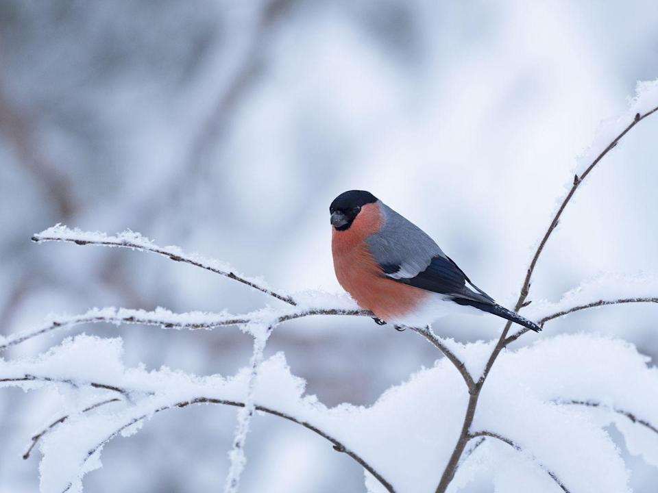 <p>The orange chest of this eurasian bullfinch stands proud against the white snow. </p>
